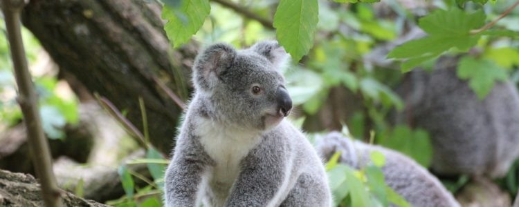 Australia Koalas